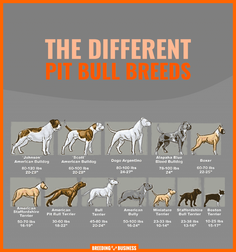 different breeds of pitbull dogs