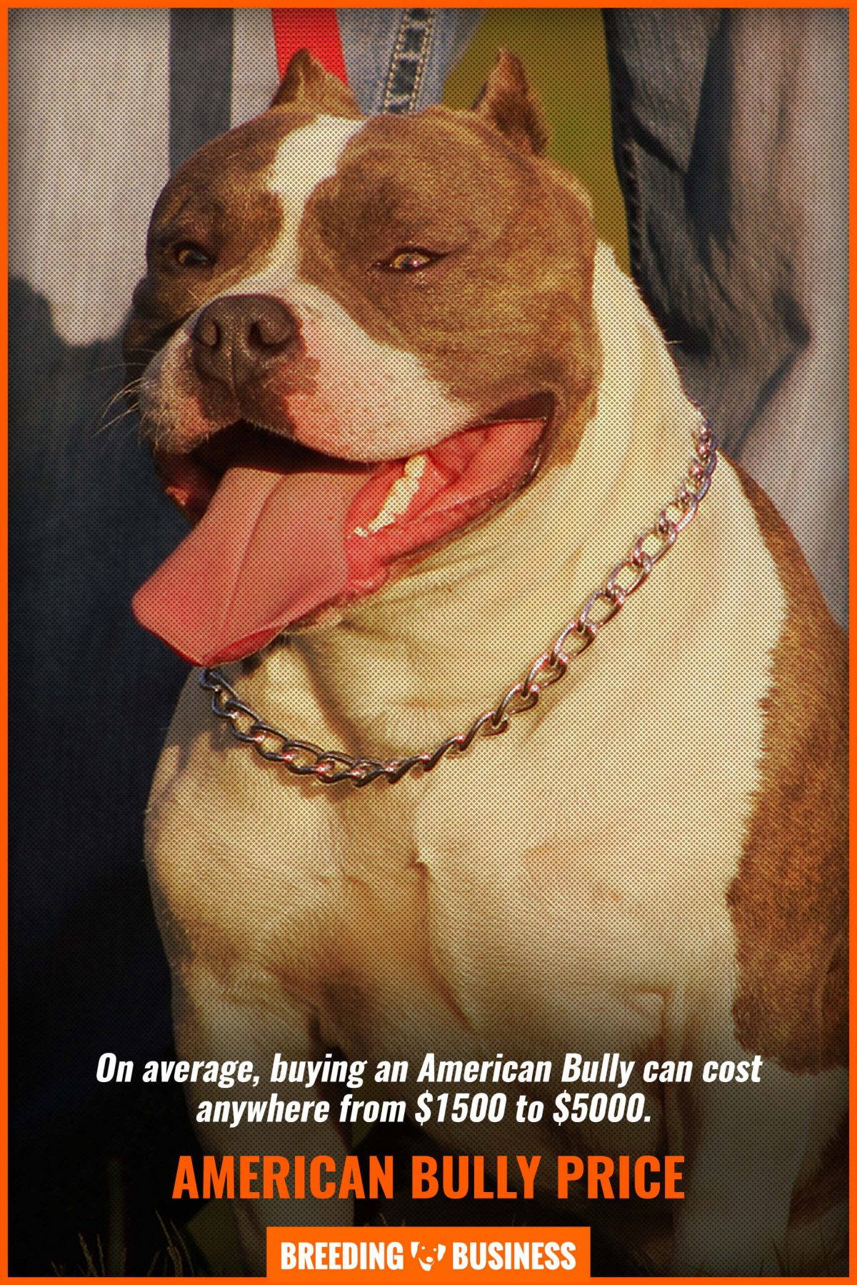 How Much Does A American Bully Cost : american, bully, American, Bully, Interviews, Text,, Videos, Podcasts