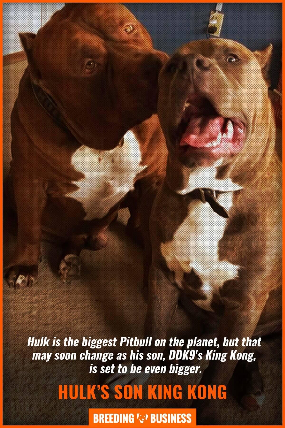 Hulk Puppies Price : puppies, price, Hulk