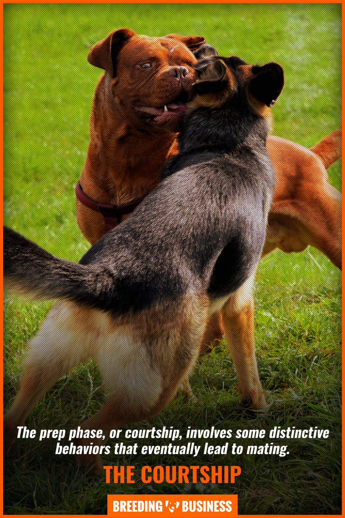 How To Separate Dogs After Mating : separate, after, mating, Initiation,, Ejaculation