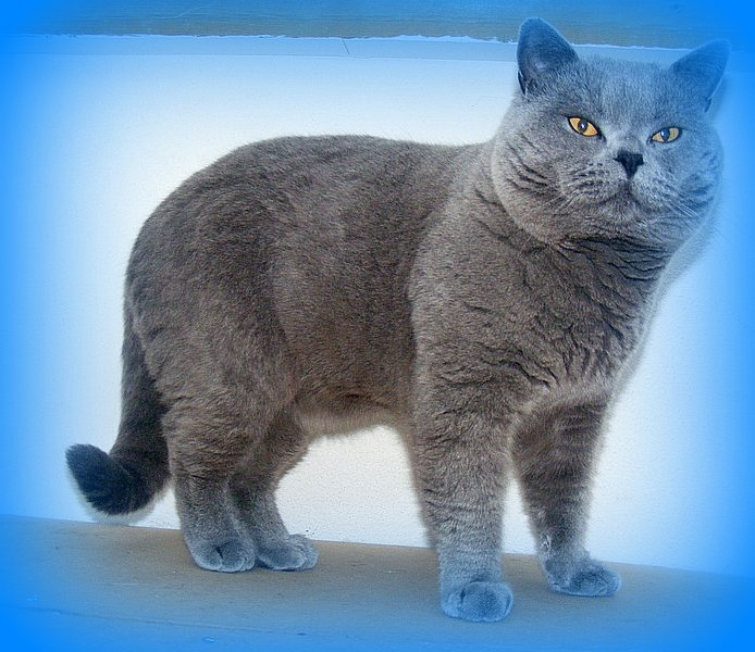 Lion Wallpaper Iphone Gallery Blue British Shorthair Cats