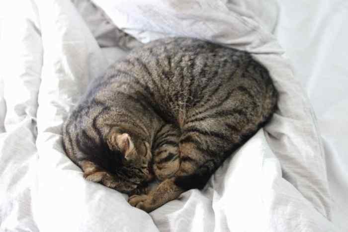 Europäische Kurzhaar Katze liegt eingekuschelt im großen XXL Familienbett - Kater Julien findet auch Platz im großen Bett