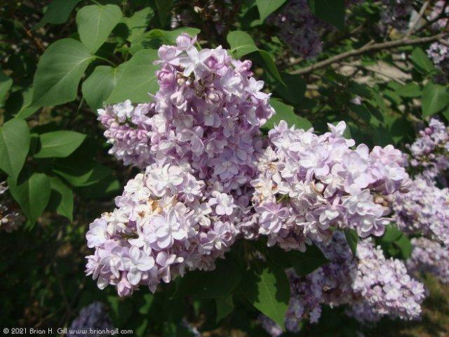 Lilacs. Sauk Centre.