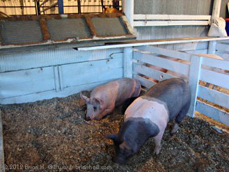 Pigs at the Stearns County Fair. (2012)