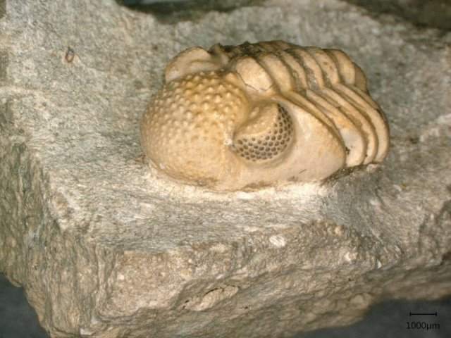 Phacops geesops. The trilobite's eyes have 200 single 'outside' lenses each. Behind each 'outside' lens is a six-facet compound eye.