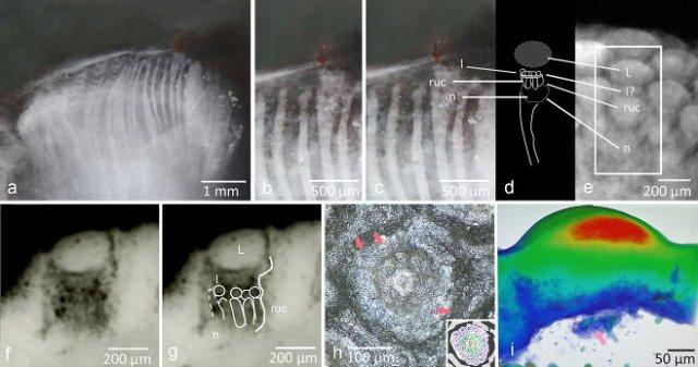 From 'A 390 million-year-old hyper-compound eye in Devonian phacopid trilobites,' B. Schoenemann et al., figure 3. Structure of the hyper-compound eye of phacopid trilobites. Scientific Reports (September 30, 2021)