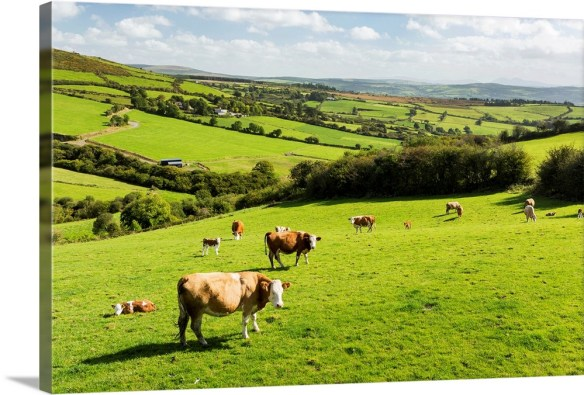 cattle-grazing-on-lush-green-hilly-pastures-with-trees-separating-fields-ireland,2342861