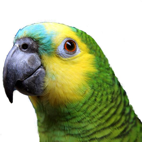 Live Birds For Sale Near Me : birds, Parrots