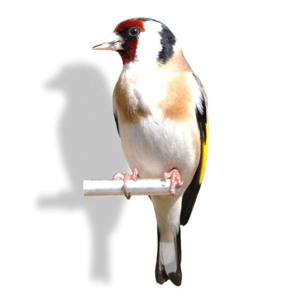 Finches For Sale Craigslist : finches, craigslist, Birds