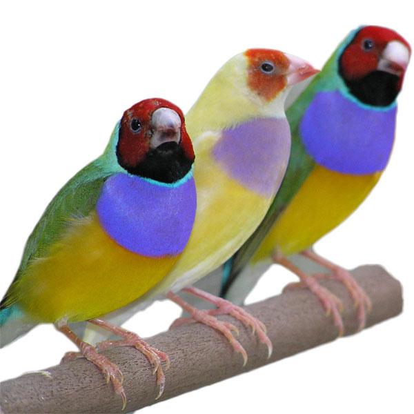Live Birds For Sale Near Me : birds, Birds, Exotic, Online