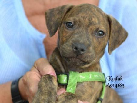 kodak puppy in foster