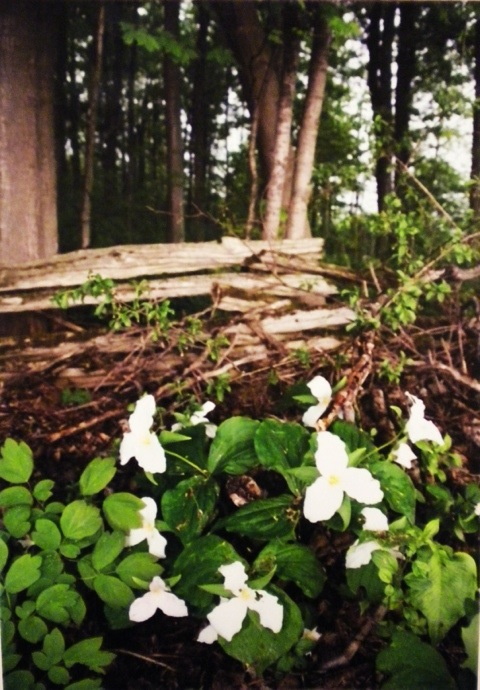 Trilliums by the Fence