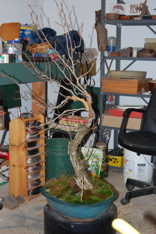 Cottonwood Bonsai : cottonwood, bonsai, Collected, Cottonwood, Bonsai, Continued…, Brendenstudio