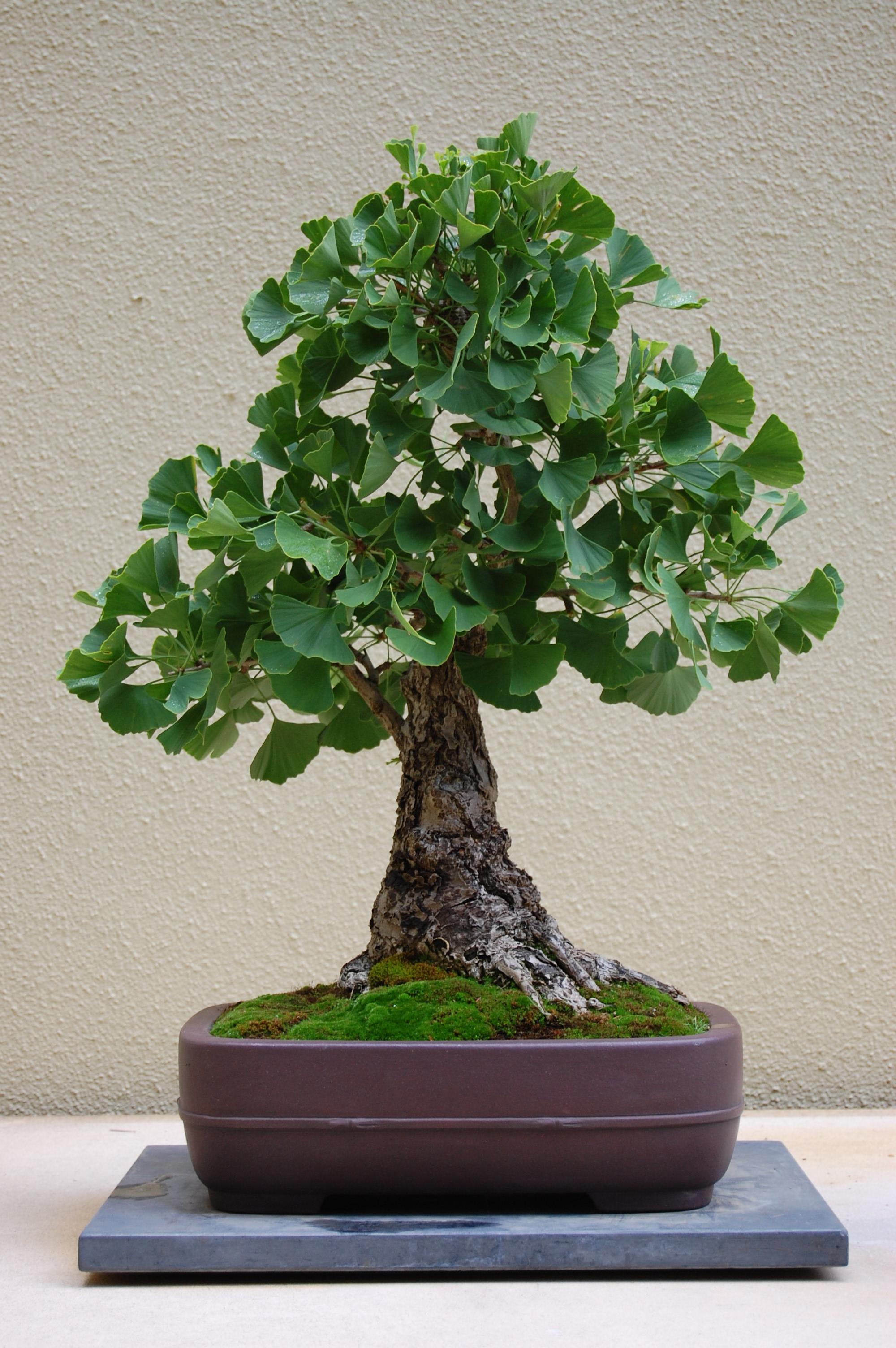 Cottonwood Bonsai : cottonwood, bonsai, Northwest', Pacific, Bonsai, Collection, Brendenstudio