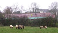 Sheep look on at early stages