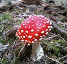Brennender Schuh - Fliegenpilze Bilder Wald Fotos 2014 (19)