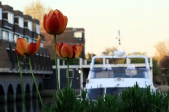 Brentford Dock Tulips