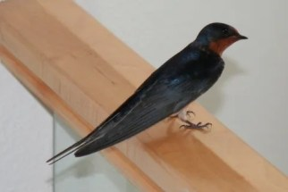 Swallow 1a