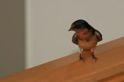 Swallow 1b