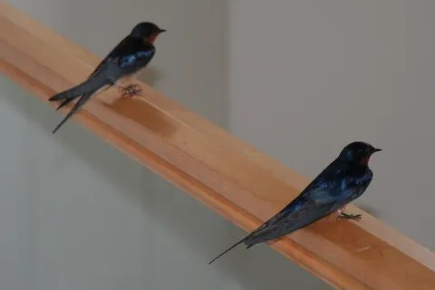 Swallows 2