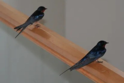 Swallow Couple inside the House