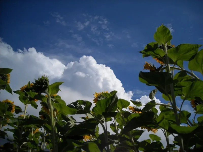 Sunflowers and clouds