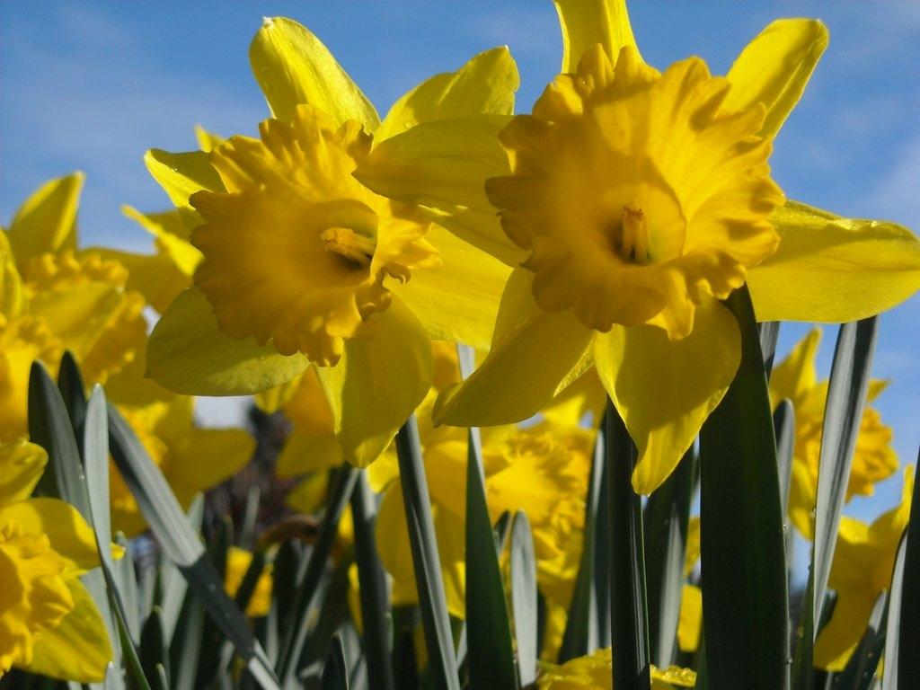 Circle Park Daffodils