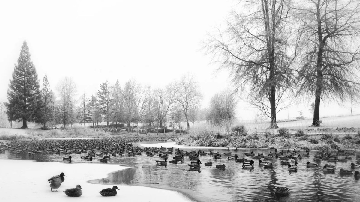 Canada geese and mallard ducks congregate on a Dawson Creek pond