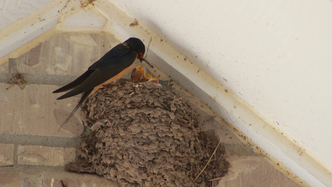 The swallows have returned