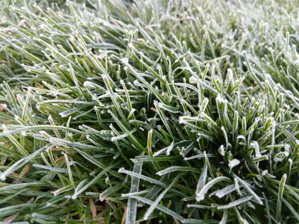 Frost-tipped grass