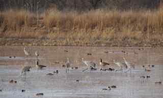 Sandhill Cranes etc., Bosque del Apache