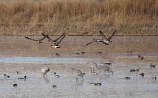 Canada Geese, Cranes, etc., Bosque del Apache