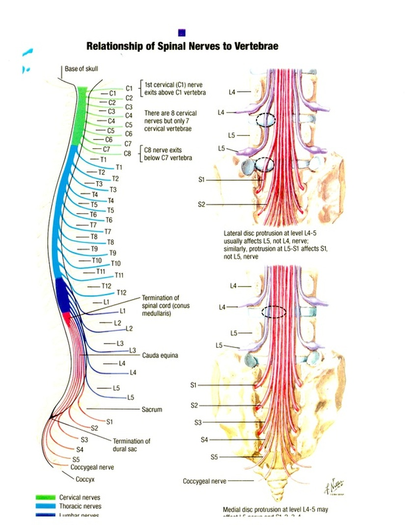 small resolution of spinal diagram chart wiring diagram forward spinal diagram chart
