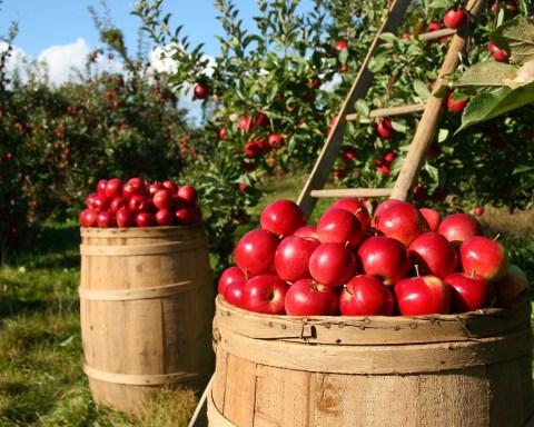 Produzione delle mele, foto d'archivio