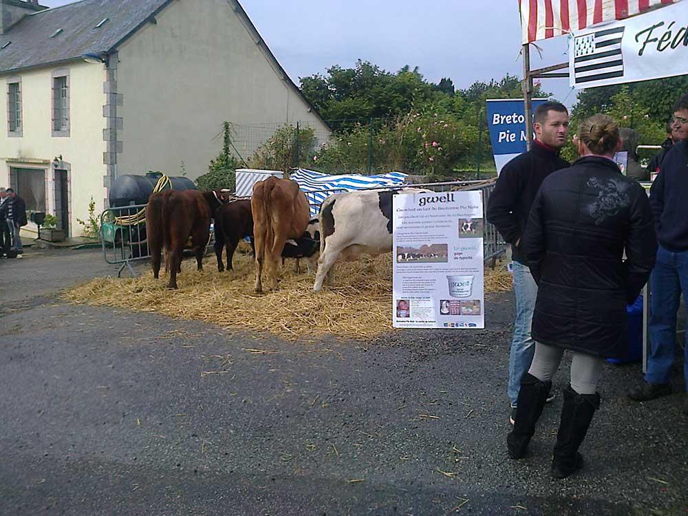 les-vaches-bretonnes
