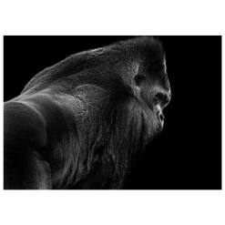 Wolf Ademeit Animal Black and White Fine Art Photography Portrait Zoo Animals Photographer Fine art photography for sale, Brett Gallery, art for home, corporate art, large format photography, Wildlife photography Silverback