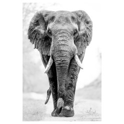 Ross Couper Animal Black and White Fine Art Photography, Wildlife Photographer, Fine art photography for Sale, Brett Gallery, Art for Home, Corporate Art, Large Format Photography, Wildlife Photography, Art Gallery, Lion