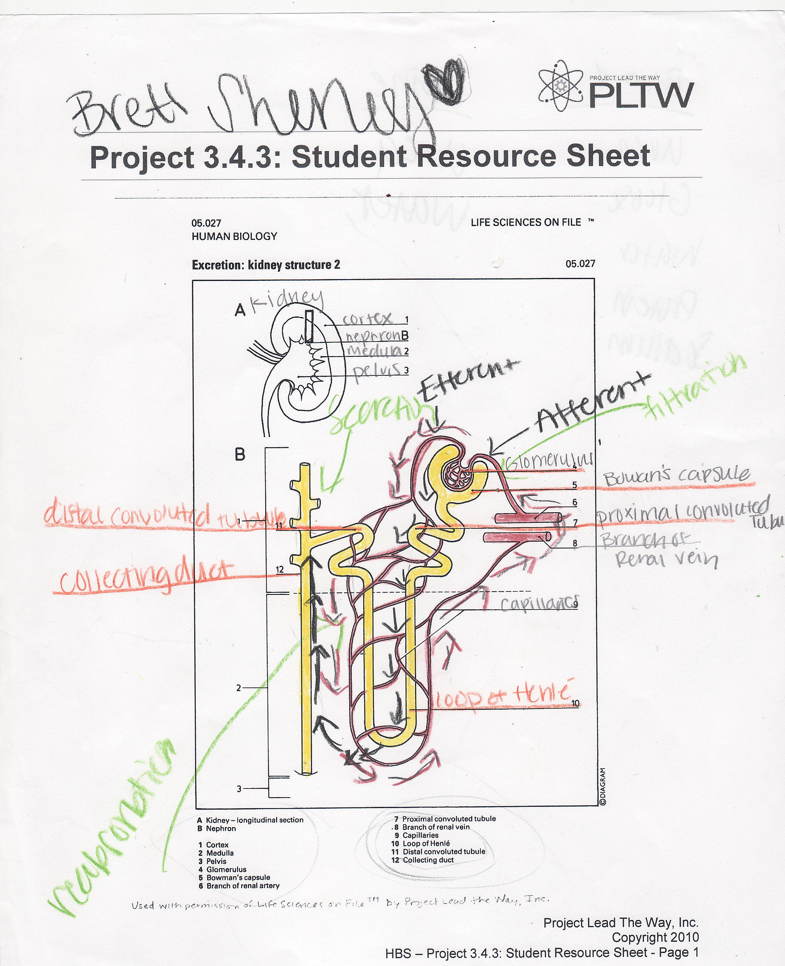 urinary system diagram and functions dual voice coil nephron worksheets get free image about