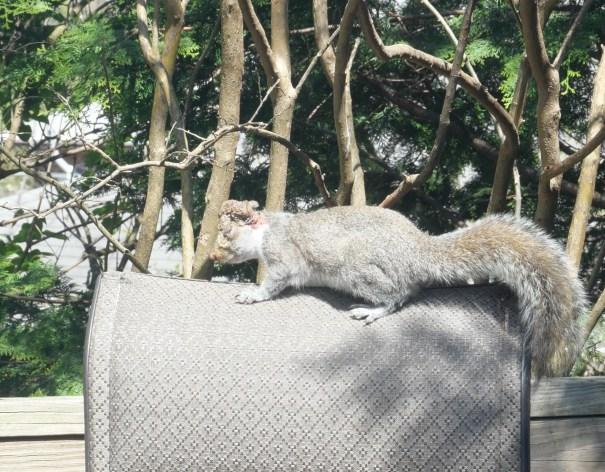 Inspired Squirrel Acorn, overcoming injury to thrive