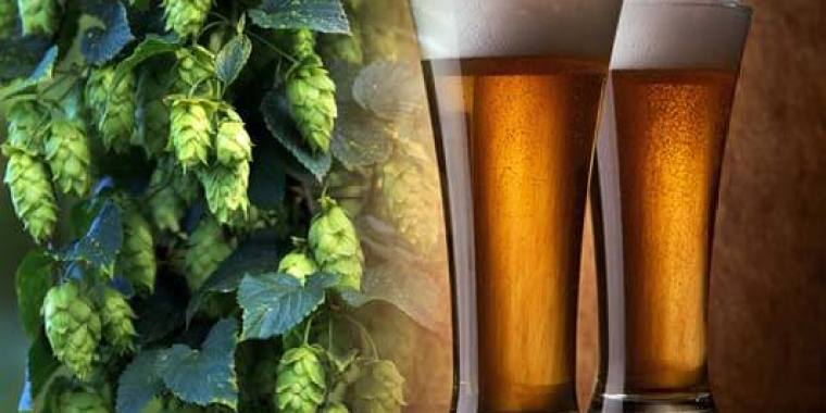 A branch of hops and 2 glasess of beer