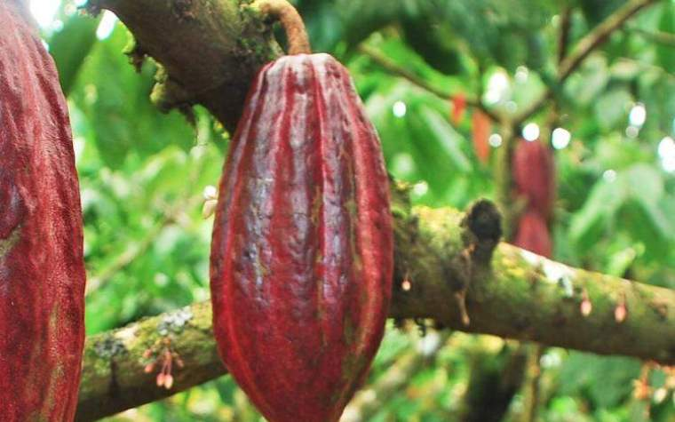 A branch of cacao plant with cacao fruit