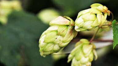 A branch of green hop flowers.