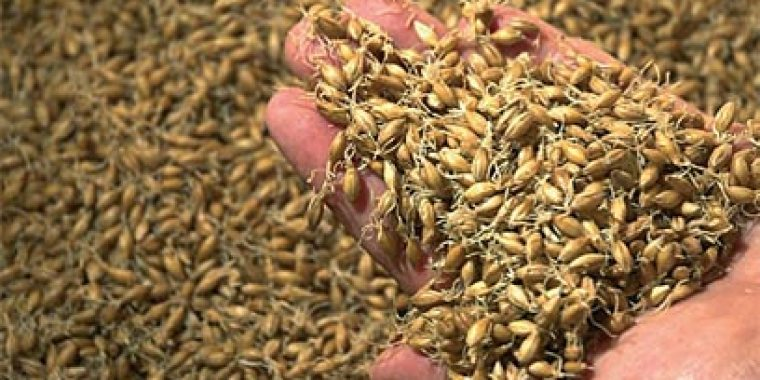 A handful of sprouting barley.