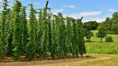 Hops vines on a farm with other trees.