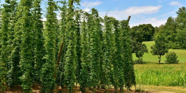 Hops vines on a farm with other trees in the background.