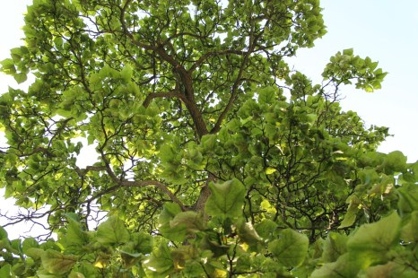 Historic Catalpa Tree_Brewery Becker Brighton MI_Biergarten_IMG_6482