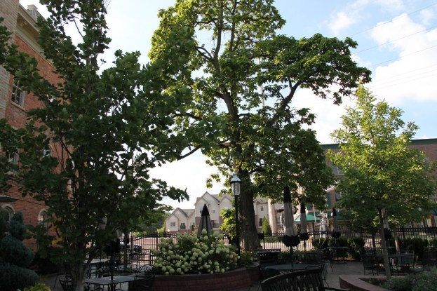 Historic Catalpa Tree_Brewery Becker Brighton MI_Biergarten_IMG_6488