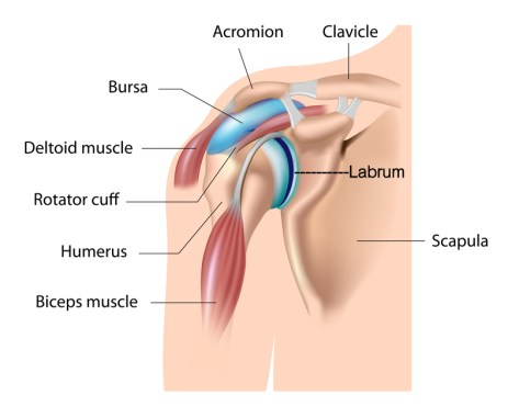 ON-normal-shoulder-anatomy-2_17571889_s
