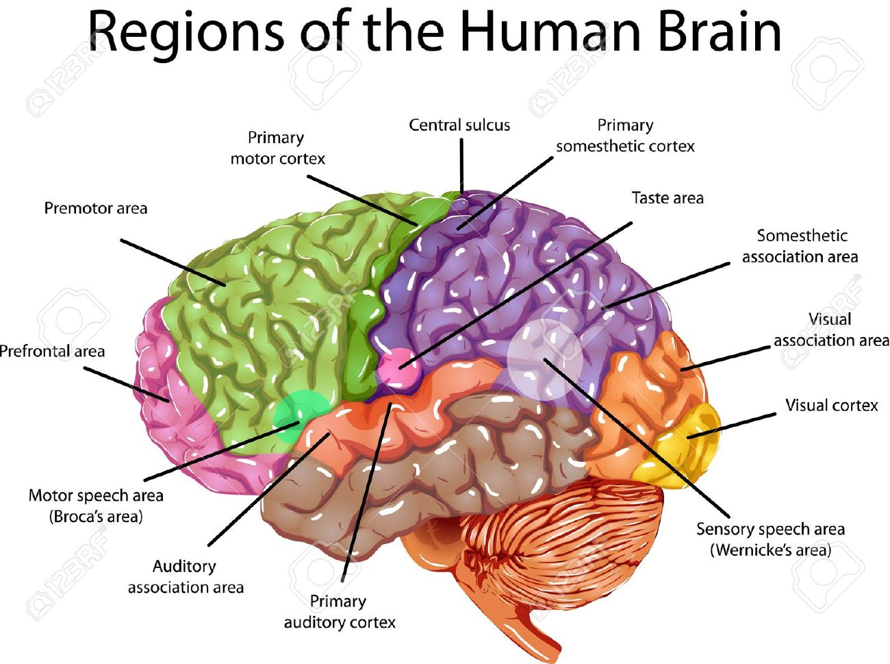 left side brain functions diagram blank probability tree template seeking a predominant theory of mind dualism versus