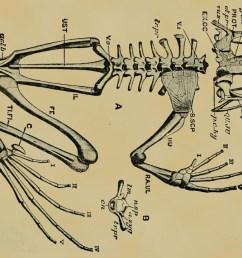 frog skeleton sketch by pfl ger [ 1280 x 720 Pixel ]